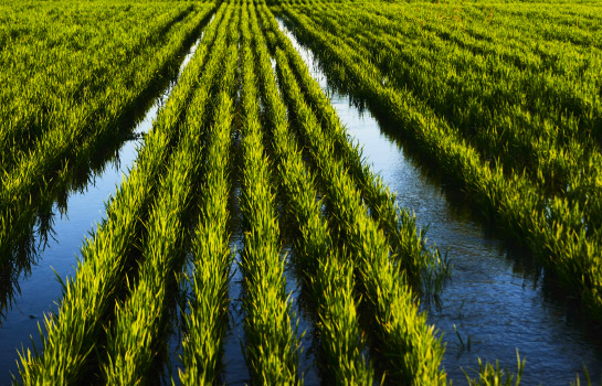 rizière et filière chambelland
