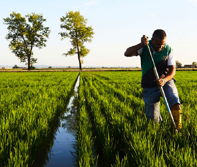 la rizière de la plaine du pô