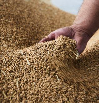 poignée de riz japonica